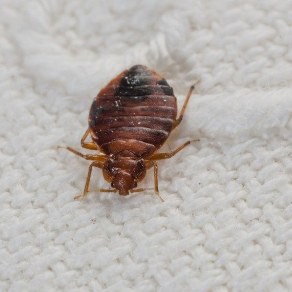Bed Bugs, Pest Control in Nine Elms, SW8. Call Now! 020 8166 9746