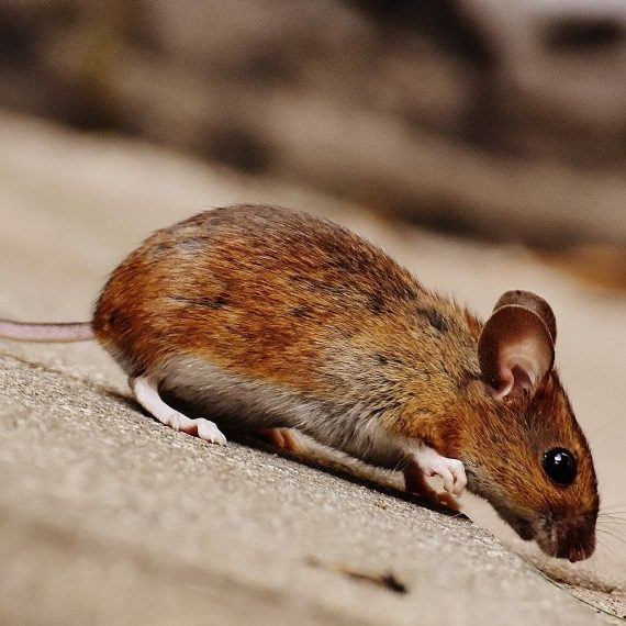 Mice, Pest Control in Nine Elms, SW8. Call Now! 020 8166 9746