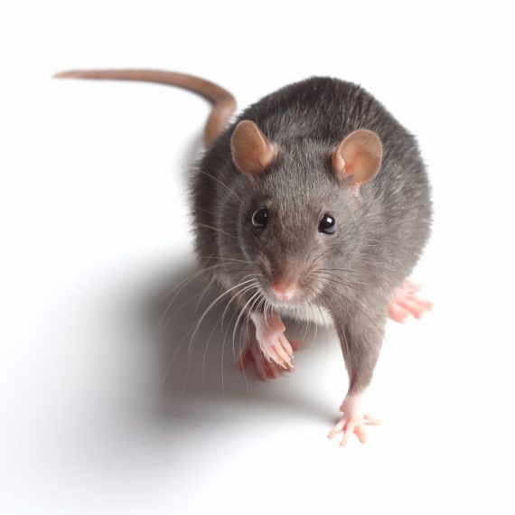 Rats, Pest Control in Nine Elms, SW8. Call Now! 020 8166 9746