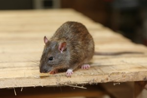 Rodent Control, Pest Control in Nine Elms, SW8. Call Now 020 8166 9746